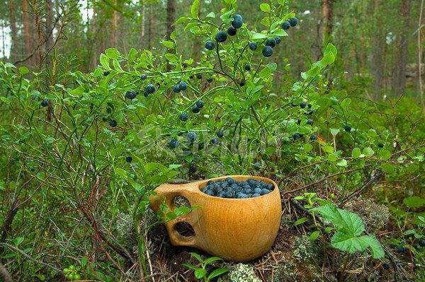 Mėlynių, bruknių ir grybų rinkimas Švedijoje